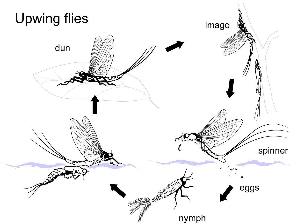 Upwing fly cycle